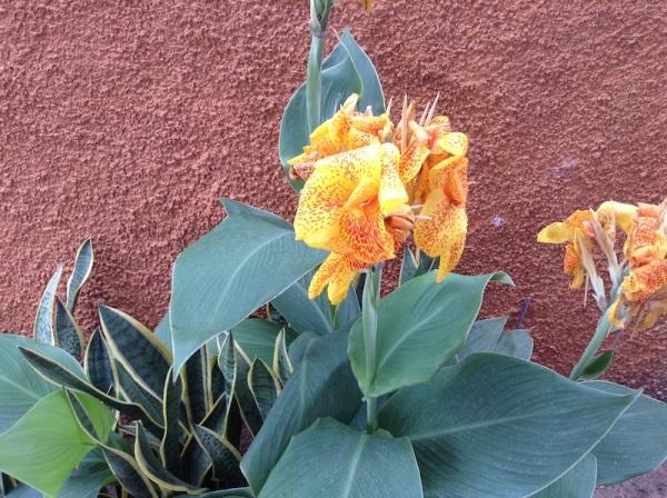 bananeirinha de jardim